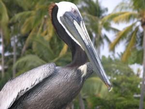 Barra de Navidad - Pelican