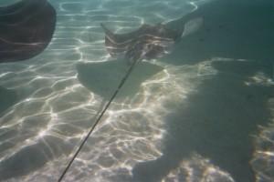 Sting rays 3